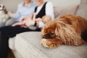 brown spaniel on the sofa with family behind